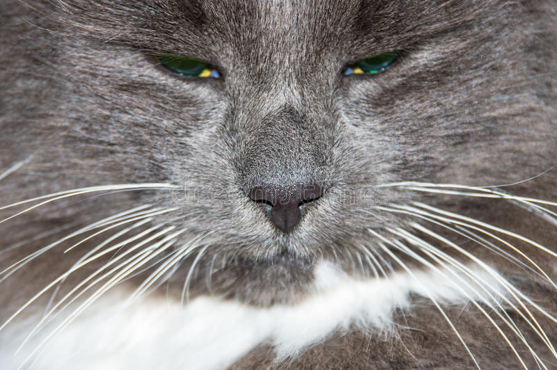 Tysta ned av grå katt arkivbilder