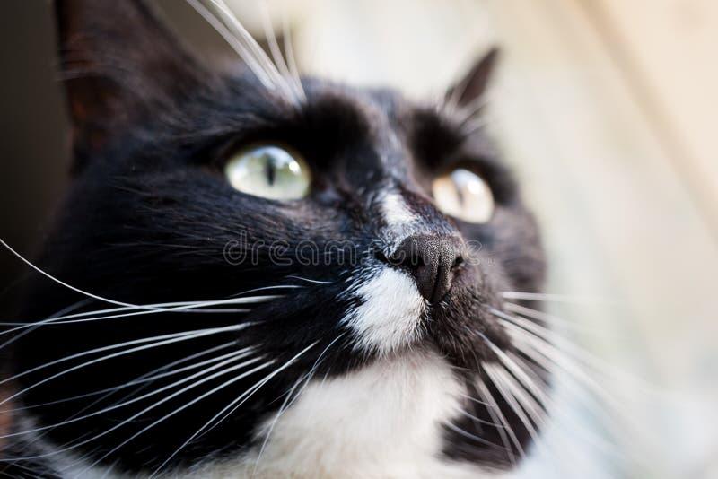 Tysta ned av solbelyst svartvit katt Fokus på kattnäsan arkivfoto
