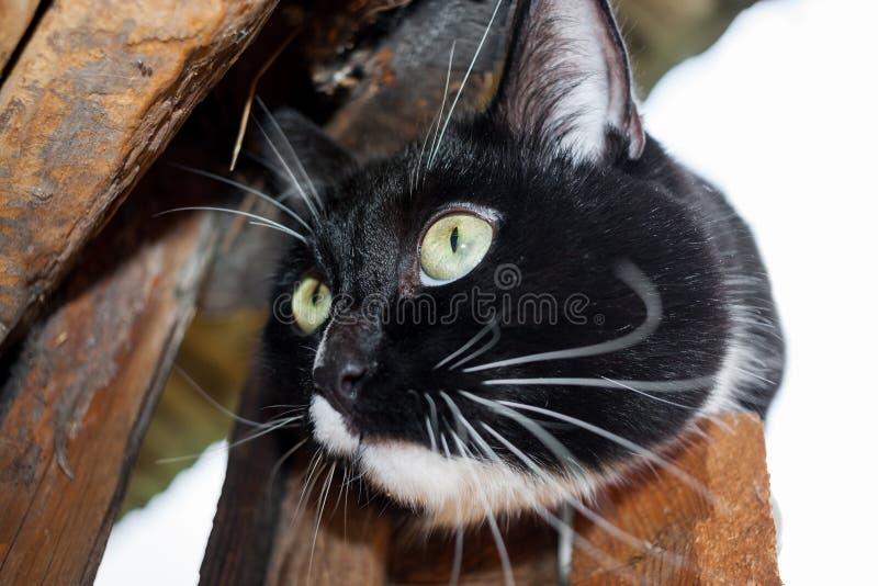 Tysta ned av svartvit katt på trädörr av trähuset arkivbild