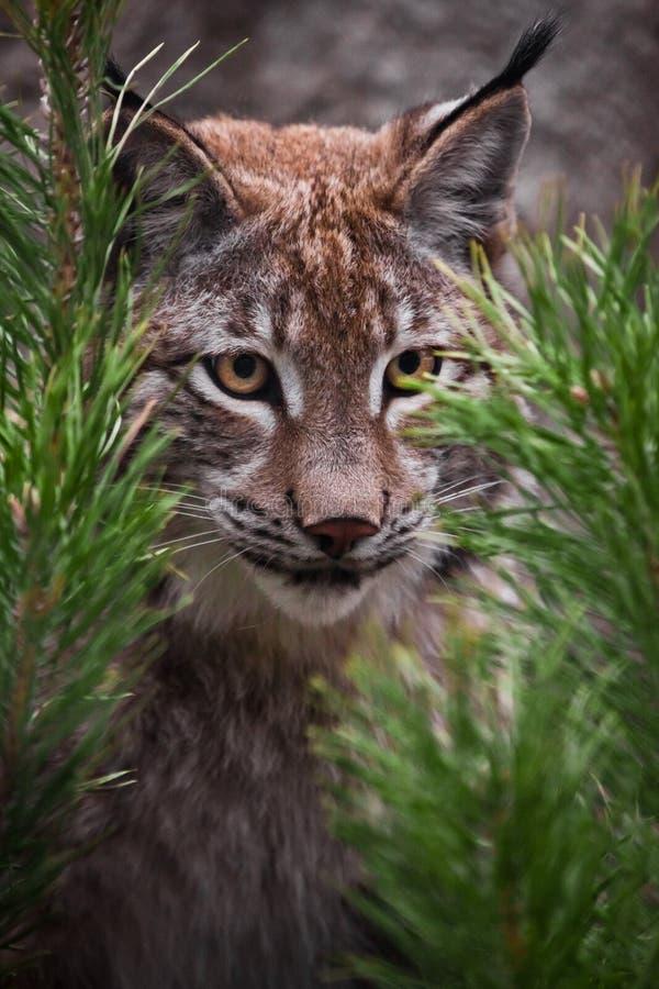 Tysta ned lodjurnärbilden bland granfilialerna, katten ser försiktigt från bakhållet, uppmärksam blick royaltyfri bild