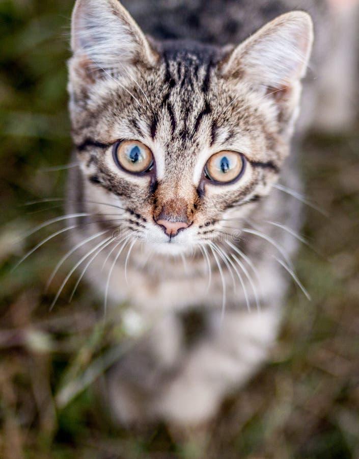 Tysta ned med stora ögon av en liten brun kattnärbild royaltyfri foto