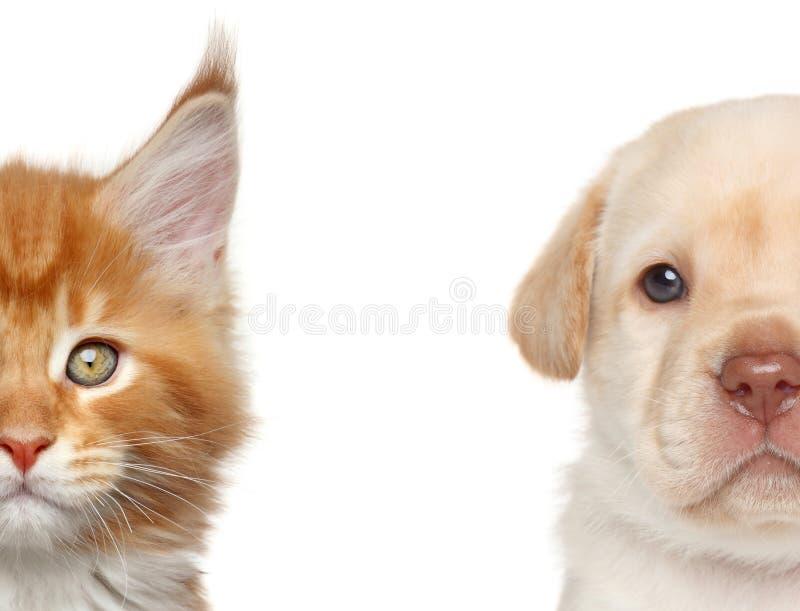 tystar ned den täta half kattungen för bakgrund ståendevalpen upp white Halvan av tystar ned ståenden arkivbilder