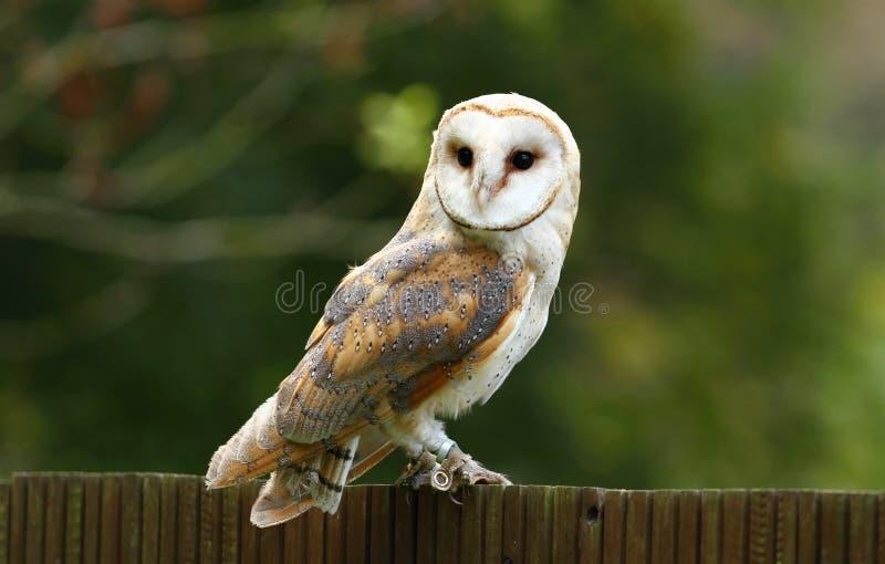Tyto alba photos stock