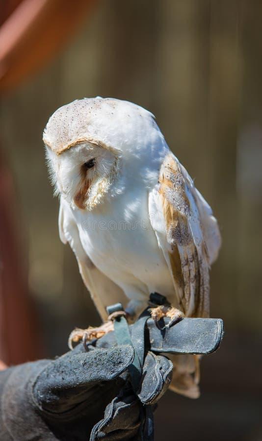 Tyto alba-Barn owl. On the falconer`s glove stock photo