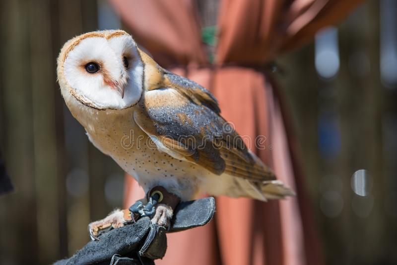Tyto alba-Barn owl. On the falconer`s glove royalty free stock photo