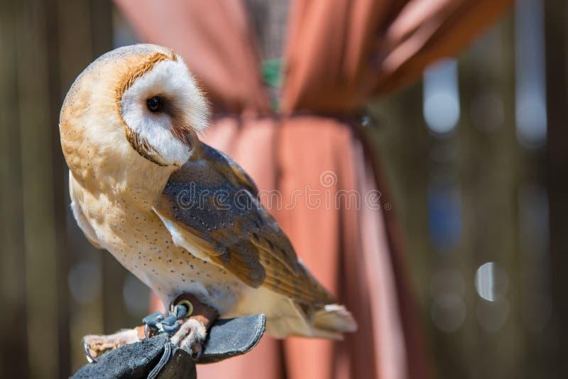 Tyto alba-Barn owl. On the falconer`s glove royalty free stock photos