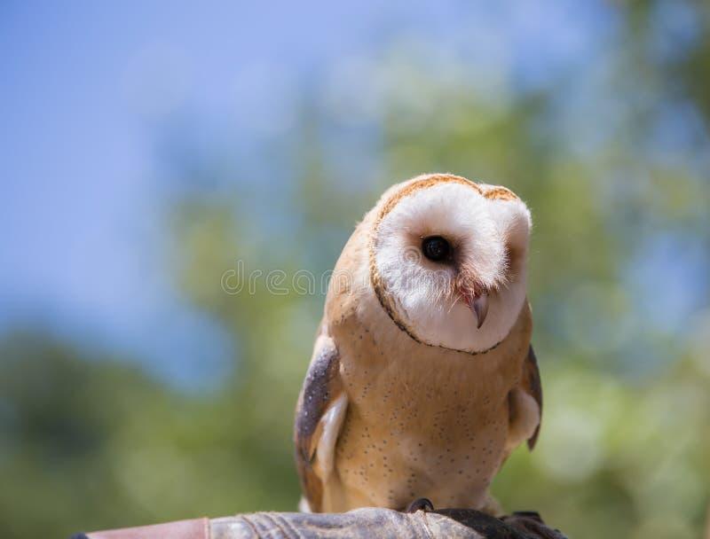 Tyto alba-Barn owl. On the falconer`s glove stock photography