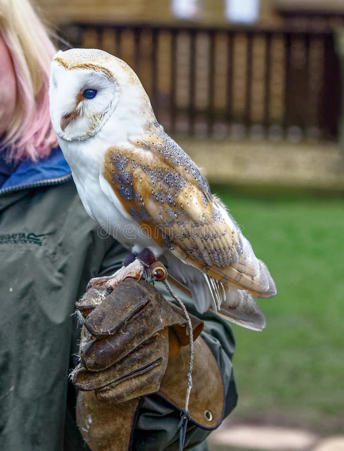 Barn owl on gloved hand. Tyto alba is the most widely distributed species of owl and one of the most widespread of all birds. It is also referred to as the royalty free stock image