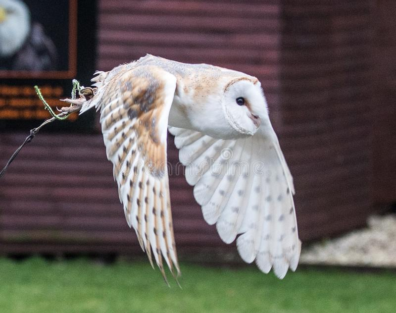 Barn owl in flight. Tyto alba is the most widely distributed species of owl and one of the most widespread of all birds. It is also referred to as the common stock image