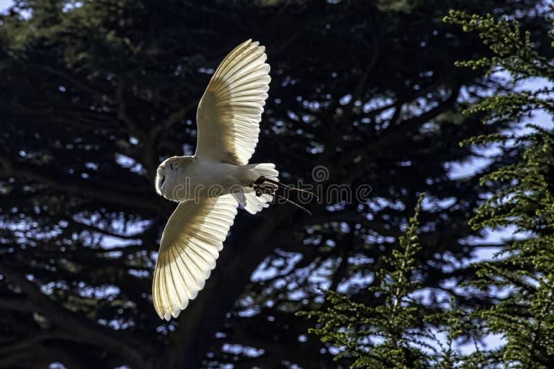 Tyto commun volant de hibou de grange alba en Warwick, R-U images libres de droits