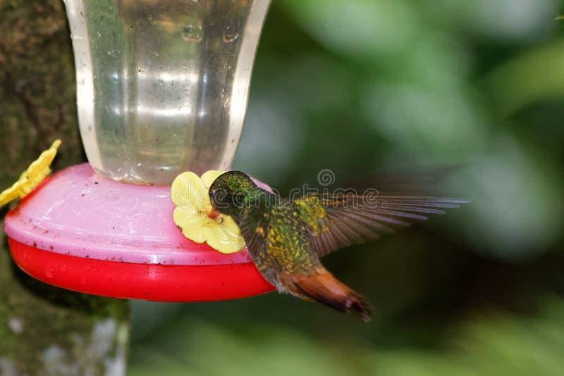 tzacatl rufous-coupé la queue 5 d'Amazilia de colibri photographie stock libre de droits