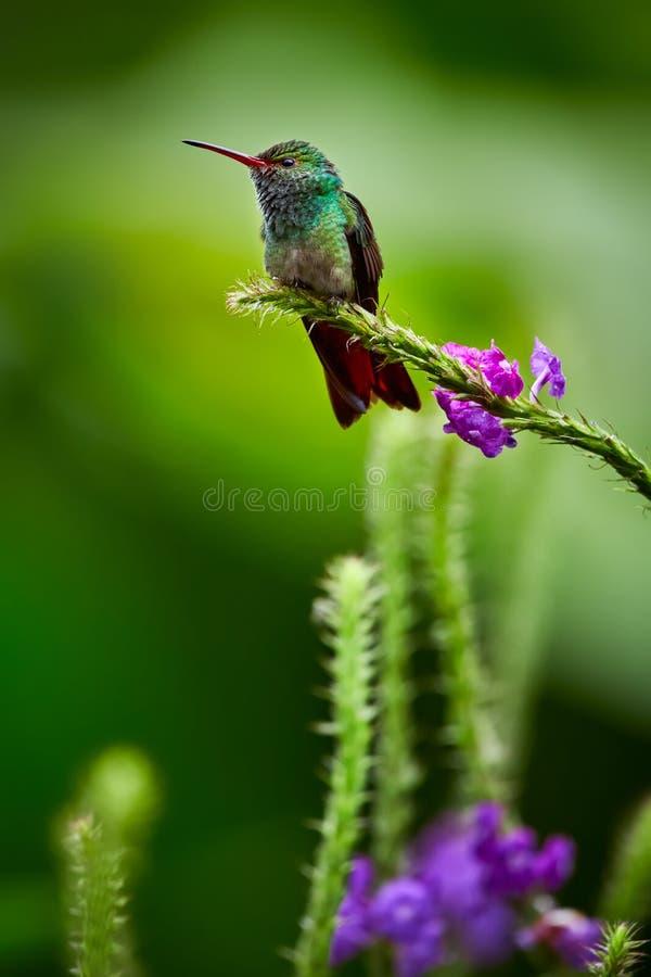 tzacatl Rufous-munito di Amazilia del colibrì che posa su un ramo di albero fotografia stock libera da diritti