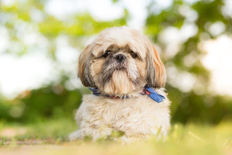 tzu σκυλιών shih στοκ εικόνα με δικαίωμα ελεύθερης χρήσης