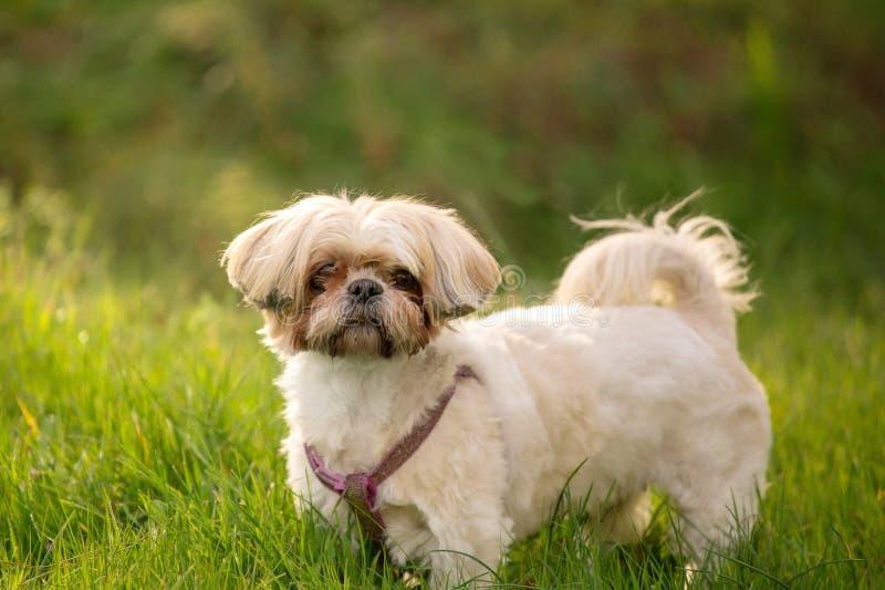 tzu χλόης σκυλιών shih στοκ εικόνα με δικαίωμα ελεύθερης χρήσης