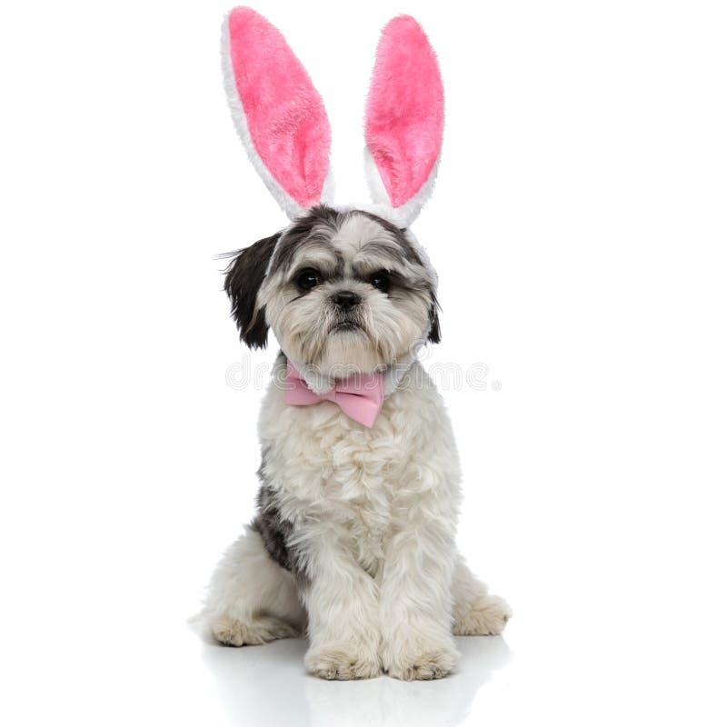 Tzu alla moda dello shih con la seduta rosa della fascia delle orecchie di coniglio fotografie stock libere da diritti