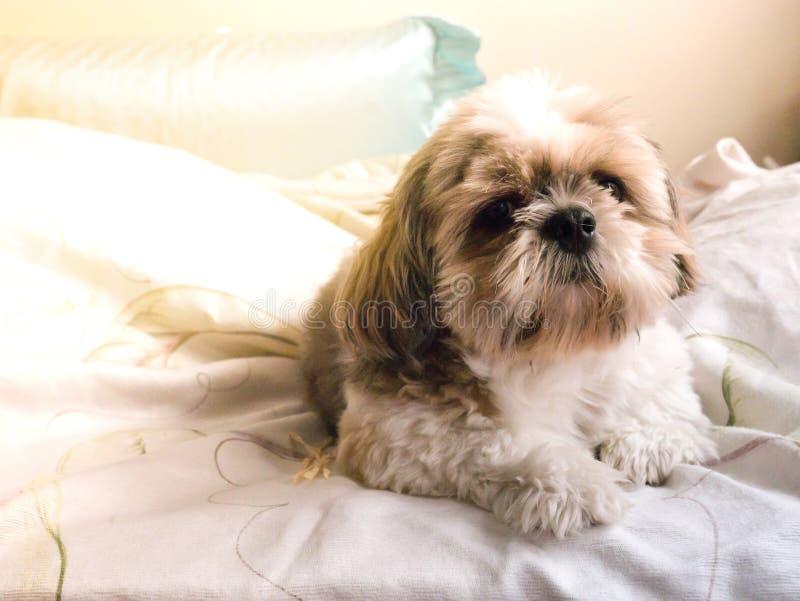 tzu de shi de chien photos libres de droits