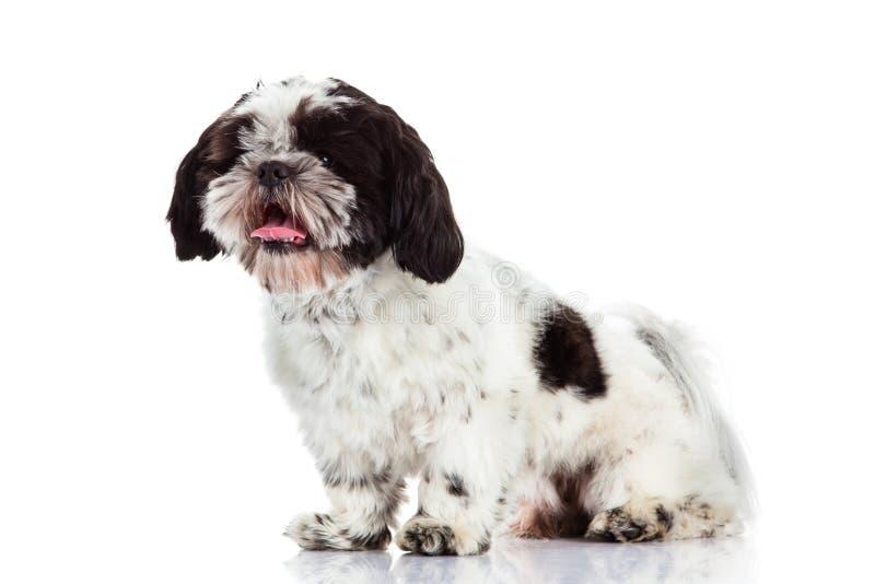 Tzu de Shih aislado en el animal doméstico blanco del perro del fondo imagenes de archivo