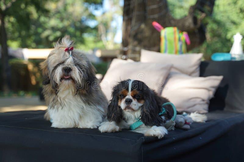 Tzu de Shih y perro arrogante de rey Charles Spaniel que se sientan de lado a lado en el daybed al aire libre fotografía de archivo libre de regalías
