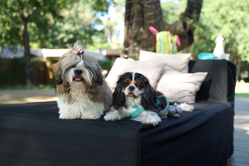 Tzu de Shih y perro arrogante de rey Charles Spaniel que se sientan de lado a lado en el daybed al aire libre fotografía de archivo
