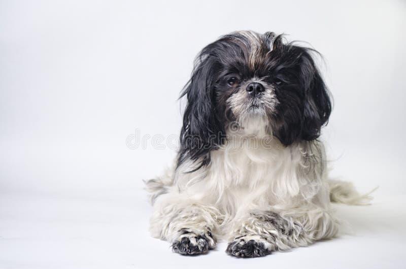 Tzu del shih de la raza del perro en un blanco fotografía de archivo