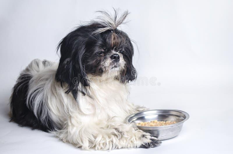 Tzu del shih de la raza del perro en un blanco imágenes de archivo libres de regalías