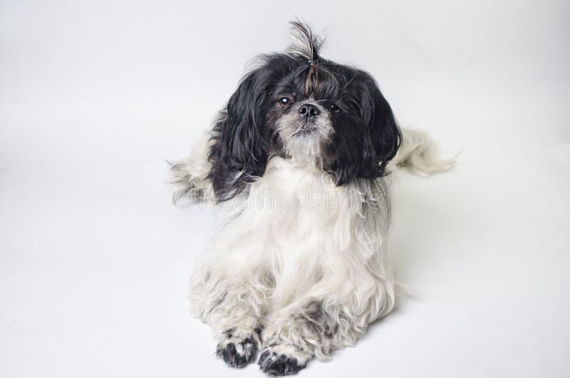 Tzu del shih de la raza del perro en un blanco fotos de archivo