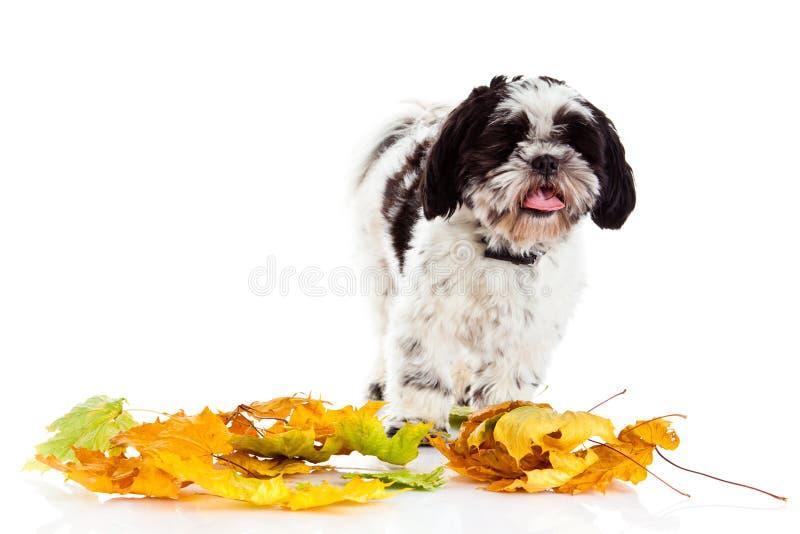 Tzu di Shih del cane isolato su fondo bianco Autunno fotografia stock libera da diritti