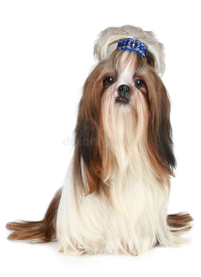 tzu shih собаки стоковое изображение rf
