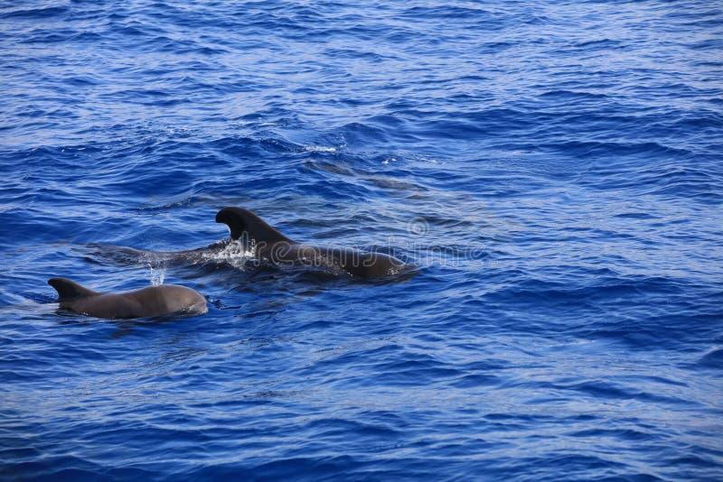 Użebrowany pilotowy wieloryb w Atlantyckim oceanie wyspa kanaryjska Tenerife Hiszpania obrazy stock