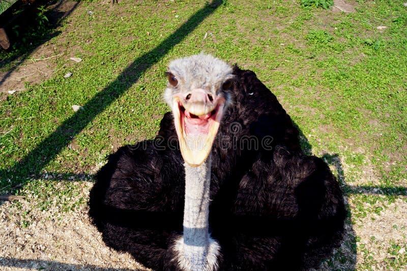 Uśmiech, śmiech, radość! Śmieszny struś jest roześmiany zdjęcia stock
