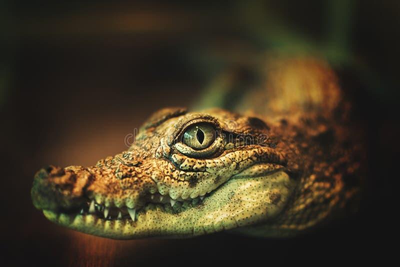 Uśmiech krokodyla oczy krokodyla patrzące bezpośrednio na kamerę krokodyl patrzy bezpośrednio do kamery krokodyl uśmiech i zdjęcia stock