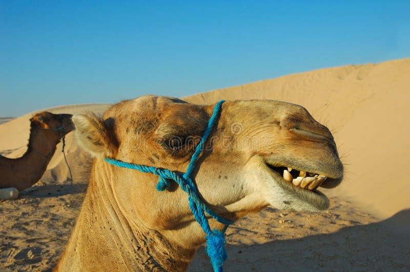 uśmiech, wielbłądów zdjęcie stock