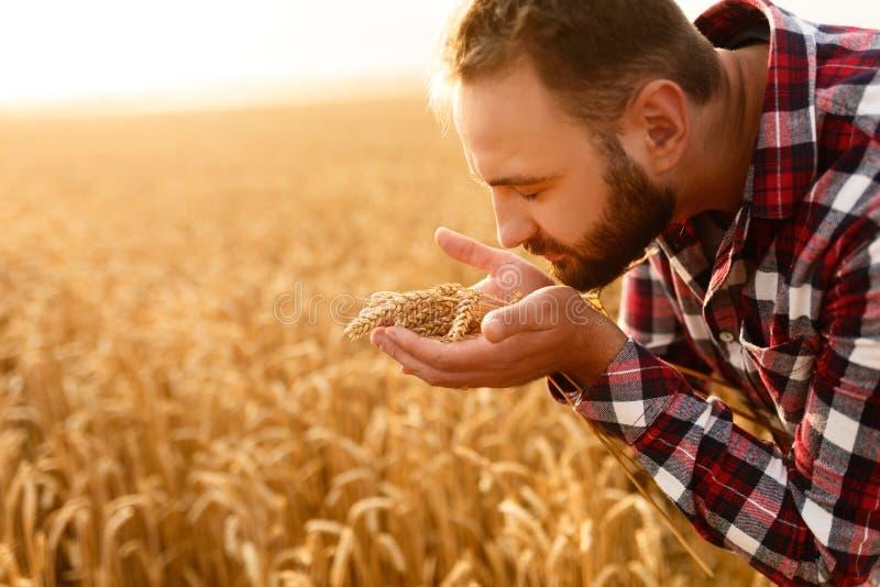Uśmiechnięci mężczyzna mienia ucho banatka blisko jego nosa na tle i twarzy pszeniczny pole Szczęśliwy agronoma rolnik obwąchuje obrazy royalty free