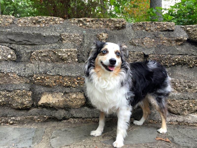 Uśmiechnięty błękit Przyglądający się pies zdjęcie royalty free