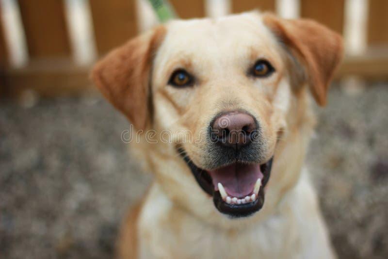 Uśmiechnięty lablador zdjęcia stock