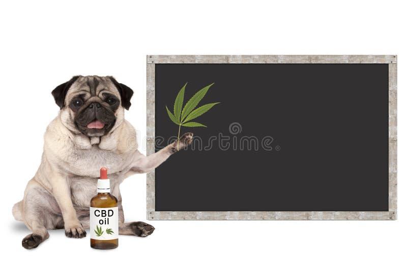 Uśmiechnięty mopsa szczeniaka pies z butelką CBD nafciany i konopiany liść z pustym blackboard znakiem, zdjęcia stock