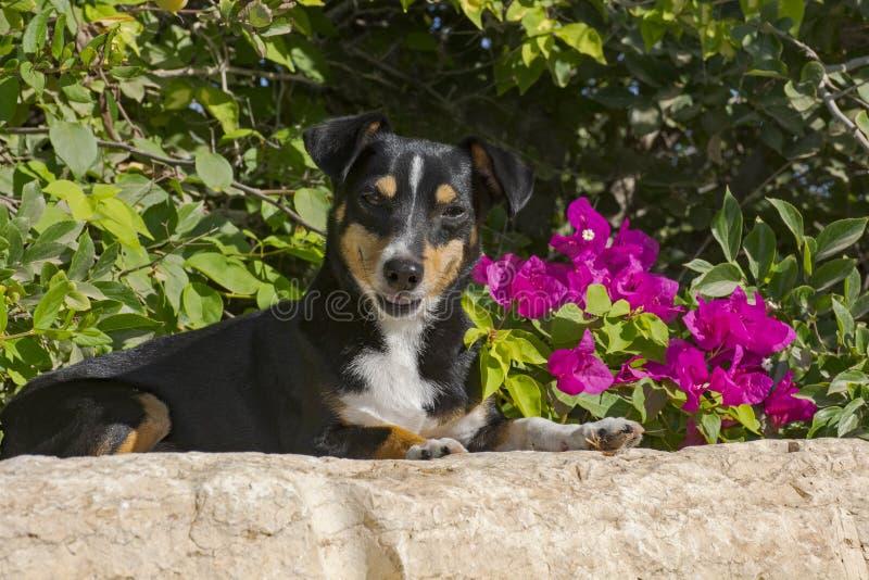 Uśmiechnięty pies przed Magenta Bougainvillea kwiatami fotografia royalty free
