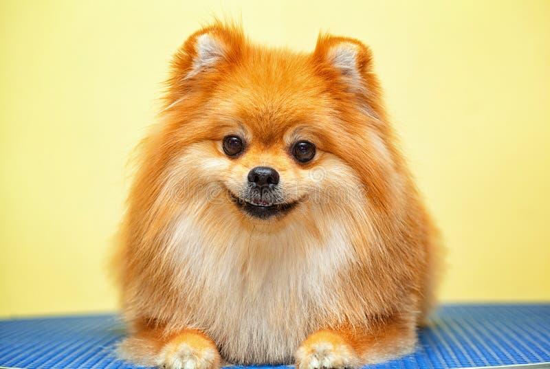 Uśmiechnięty psi Spitz obraz royalty free