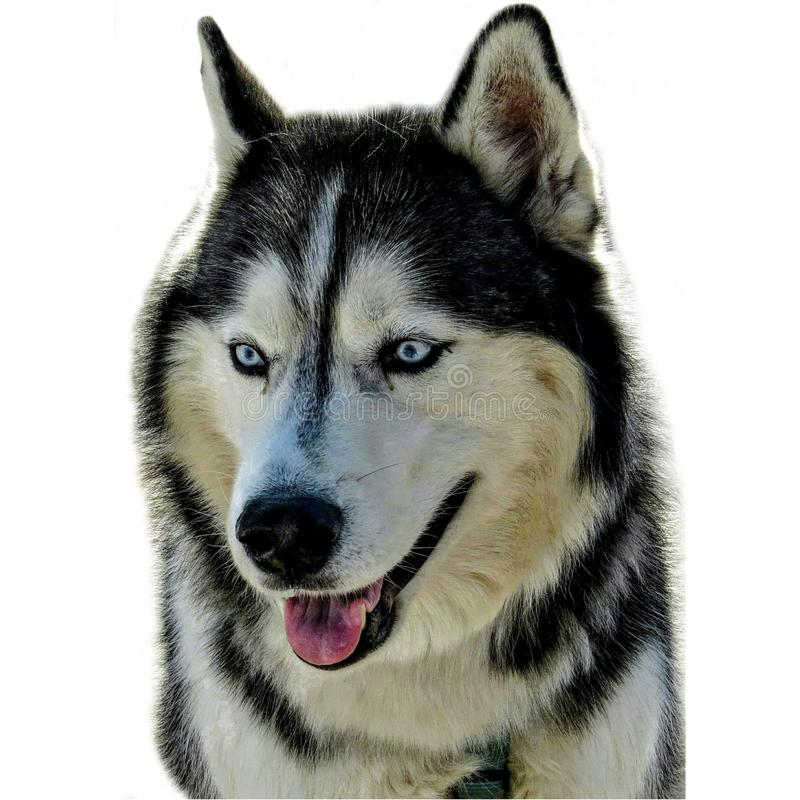 Uśmiechnięty Syberyjskiego husky pies Na Białym tle zdjęcie royalty free