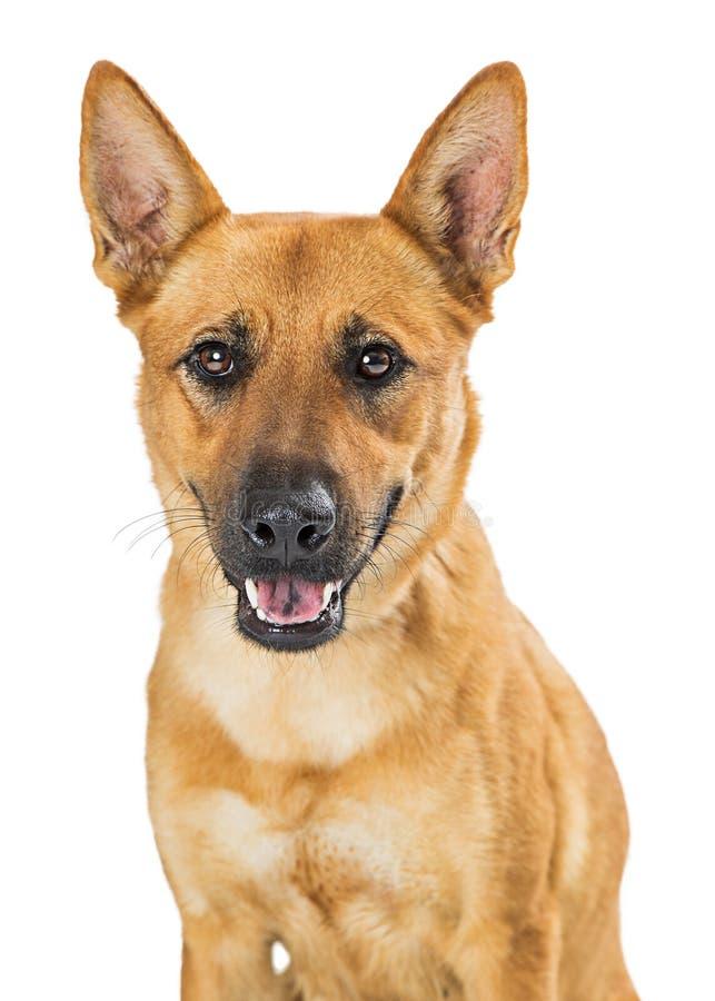 Uśmiechnięty Szczęśliwy ampuła psa zbliżenie zdjęcia stock
