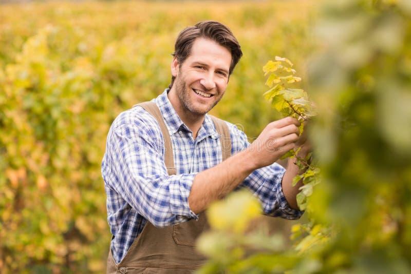 Uśmiechnięty winegrower zbiera winogrona fotografia stock