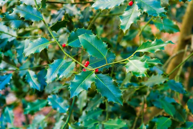 Uświęcona jagoda opuszcza w lesie jako Bożenarodzeniowa dekoracja zdjęcie stock