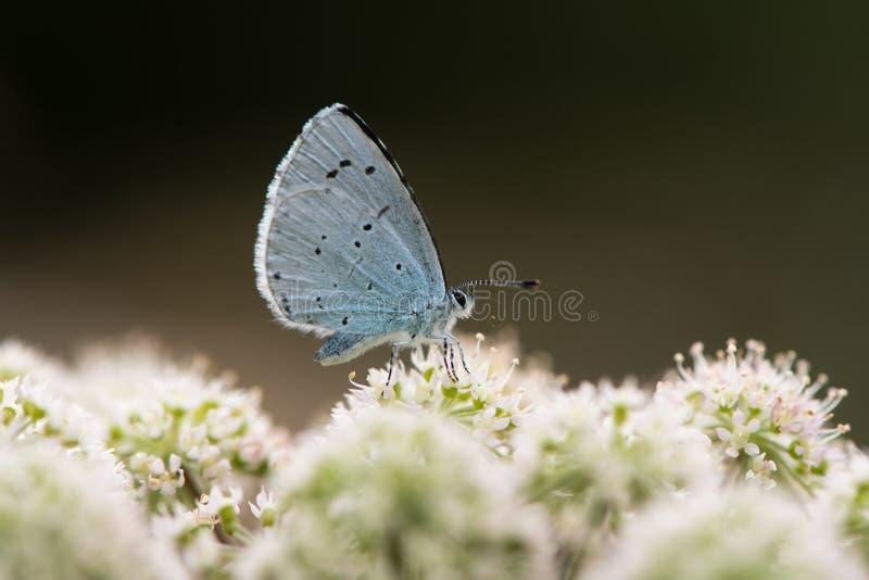 Uświęcony błękit & x28; Celastrina argiolus& x29; nectaring na hogweed zdjęcie stock