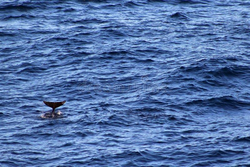 Użebrowany pilotowy wieloryb fotografia royalty free