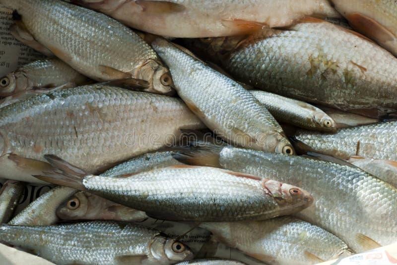 użebrowany rybi promień zdjęcie royalty free