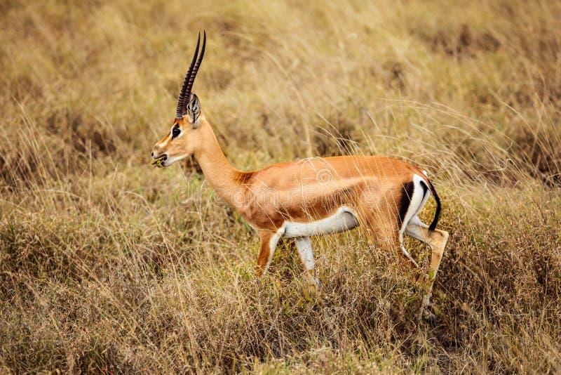 Użycza ` s gazeli Nanger granti bocznego widok Tsavo Wschodni park narodowy, Kenja obraz royalty free