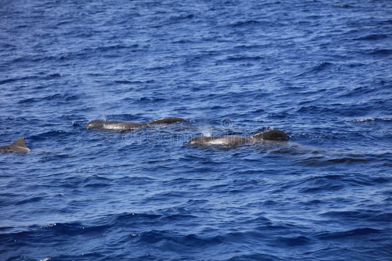 U?ebrowany pilotowy wieloryb w Atlantyckim oceanie wyspa kanaryjska Tenerife Hiszpania fotografia stock