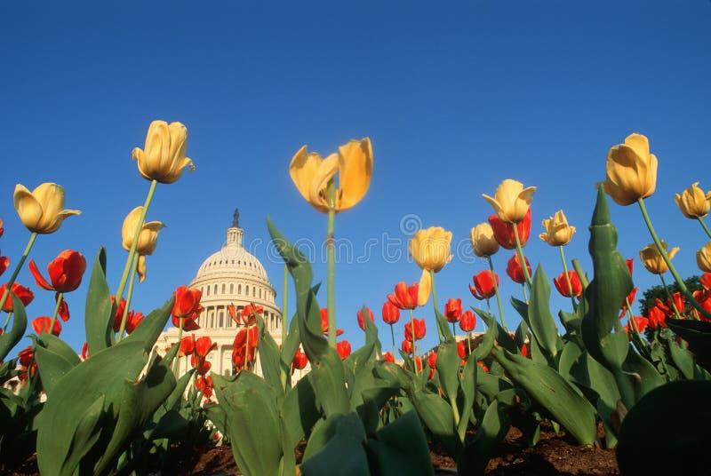 U.S. Капитолий с тюльпанами стоковое фото