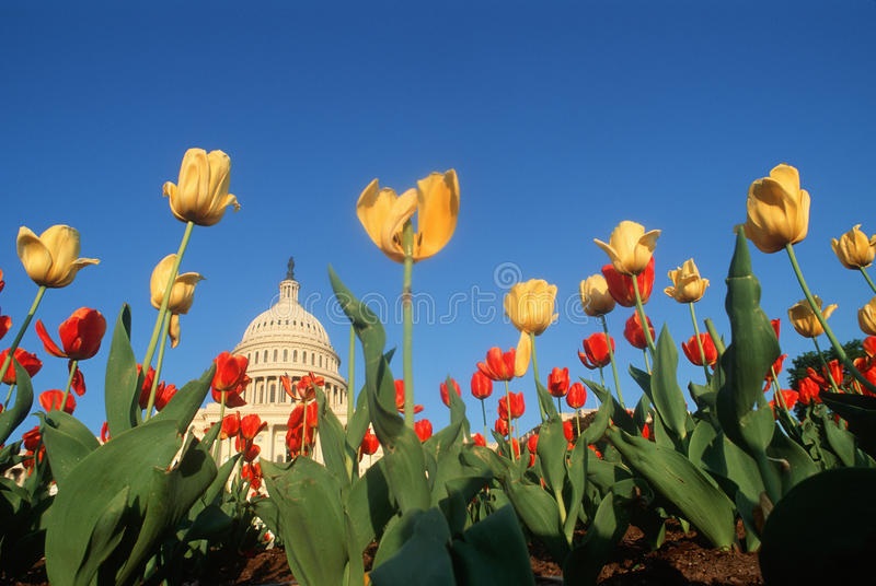 U.S. Capitol avec des tulipes photo stock