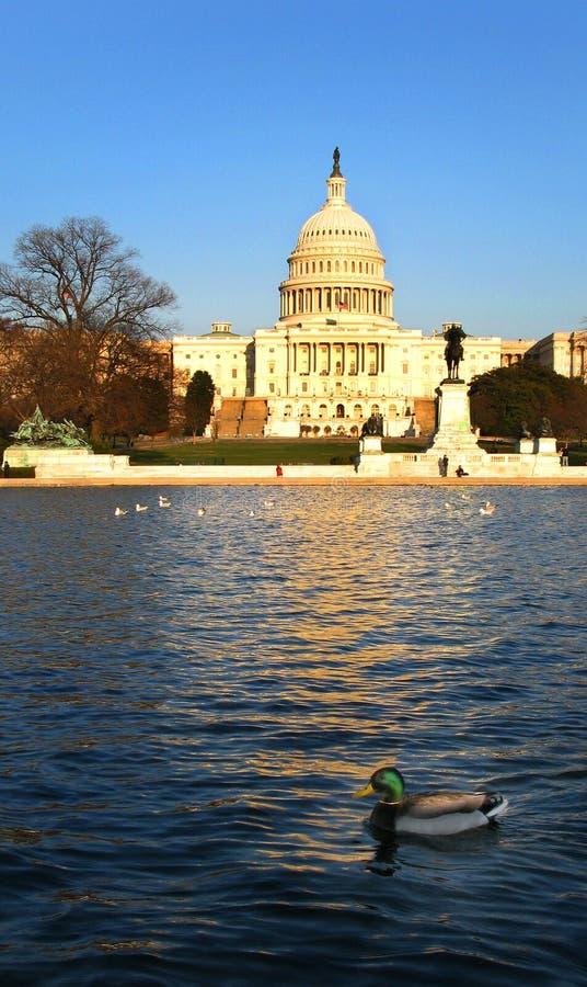 U.S. De Eend van het Capitool en van de Wilde eend in het Wijzen van op Vijver royalty-vrije stock afbeelding